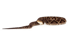 Δηλητηριώδες φίδι οχιών κοιλωμάτων Terciopelo Στοκ φωτογραφία με δικαίωμα ελεύθερης χρήσης