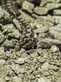 Δηλητηριώδες φίδι οχιών Στοκ Εικόνες