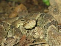 Δηλητηριώδες φίδι bothrops atrox Στοκ Εικόνα