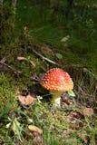 Δηλητηριώδες amanita μυγών μανιταριών αυξάνεται στο δάσος της Φινλανδίας Στοκ φωτογραφία με δικαίωμα ελεύθερης χρήσης