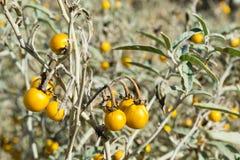 Δηλητηριώδες Horsenettle, Solanum carolinense, εγκαταστάσεις Στοκ φωτογραφία με δικαίωμα ελεύθερης χρήσης
