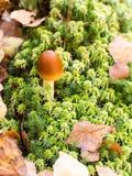 Δηλητηριώδες micaceus coprinus μανιταριών στο πράσινο βρύο Στοκ εικόνα με δικαίωμα ελεύθερης χρήσης