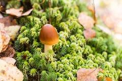 Δηλητηριώδες micaceus coprinus μανιταριών στο πράσινο βρύο Στοκ φωτογραφίες με δικαίωμα ελεύθερης χρήσης