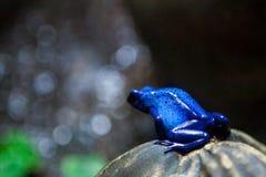 Δηλητηριώδης μπλε βάτραχος βελών Στοκ Φωτογραφίες