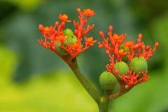 Δηλητηριώδης φωτογραφία λουλουδιών των εγκαταστάσεων κοιλιών του Βούδα, bottleplant θάμνος Στοκ εικόνες με δικαίωμα ελεύθερης χρήσης