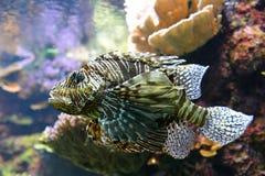 Δηλητηριώδης ψάρια ή σκορπιός λιονταριών Στοκ Εικόνες