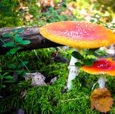 Δηλητηριώδη μανιτάρια στο δάσος Στοκ Εικόνες