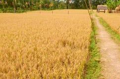 Διάβαση μεταξύ του χρυσού πεδίου ρυζιού στοκ εικόνες