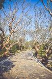 Διάβαση πεζών κάτω από το δέντρο plumeria Τονισμένη εκλεκτής ποιότητας επίδραση Στοκ εικόνες με δικαίωμα ελεύθερης χρήσης