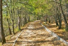 Διάβαση πεζών στο ανοικτό πράσινο δάσος πεύκων Στοκ Φωτογραφίες