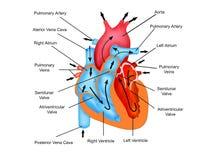 Διάβαση της ροής αίματος μέσω της καρδιάς Στοκ φωτογραφία με δικαίωμα ελεύθερης χρήσης