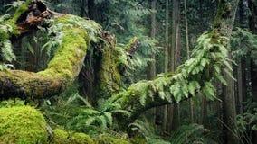 Διάβαση των μεγάλων παλαιών δέντρων στο θερινό δάσος απόθεμα βίντεο