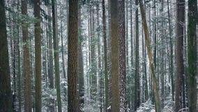 Διάβαση των όμορφων ψηλών δασικών δέντρων στις χιονοπτώσεις φιλμ μικρού μήκους