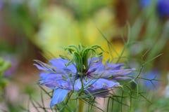 Διάβολος στο damascena Nigella λουλουδιών θάμνων Στοκ Εικόνα