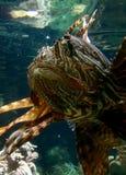 Διάβολος κοραλλιών Στοκ φωτογραφίες με δικαίωμα ελεύθερης χρήσης