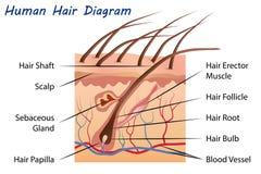 Διάγραμμα ανθρώπινα μαλλιών Στοκ Φωτογραφίες
