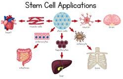 Διάγραμμα εφαρμογών βλαστικών κυττάρων ελεύθερη απεικόνιση δικαιώματος