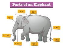 Διάγραμμα που παρουσιάζει μέρη του ελέφαντα ελεύθερη απεικόνιση δικαιώματος