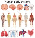 Διάγραμμα που παρουσιάζει συστήματα ανθρώπινων σωμάτων ελεύθερη απεικόνιση δικαιώματος