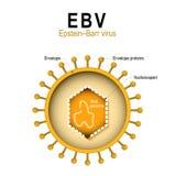 Διάγραμμα της δομής EBV διανυσματική απεικόνιση