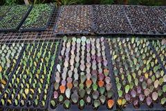 Διάδοση των succulent εγκαταστάσεων που χρησιμοποιούν μόνο την κοπή άδειας που καταγράφει στο λίπασμα για να ριζώσει στοκ φωτογραφία με δικαίωμα ελεύθερης χρήσης