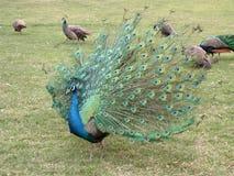 Διάδοση Peacock Στοκ εικόνες με δικαίωμα ελεύθερης χρήσης