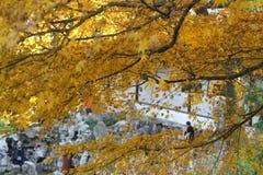 Διάθεση φθινοπώρου, χρυσό φθινόπωρο, η έννοια του βερίκοκου ισχυρή, τα φύλλα στον τοίχο, χαρακτηριστικά γνωρίσματα κήπων Suzhou,  Στοκ Εικόνες