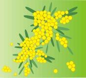 διάνυσμα άνοιξη mimosa λουλο&ups Στοκ εικόνα με δικαίωμα ελεύθερης χρήσης