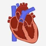 Διάνυσμα ανατομίας καρδιών ελεύθερη απεικόνιση δικαιώματος