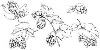 διάνυσμα Γραπτή χαραγμένη τέχνη μελανιού humulus Απομονωμένο illus humulus διανυσματική απεικόνιση