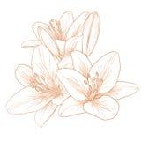 διάνυσμα κρίνων λουλουδιών Στοκ εικόνα με δικαίωμα ελεύθερης χρήσης