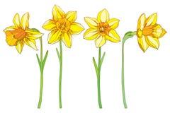Διάνυσμα που τίθεται τους κίτρινα ναρκίσσους ή daffodil τα λουλούδια περιλήψεων που απομονώνονται με στο λευκό Περίκομψα floral σ Στοκ εικόνα με δικαίωμα ελεύθερης χρήσης