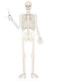 διάνυσμα σκελετών προσώπ&om Στοκ Φωτογραφία