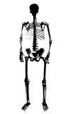 διάνυσμα σκελετών Στοκ εικόνα με δικαίωμα ελεύθερης χρήσης