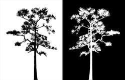 Διάνυσμα σκιαγραφιών δέντρων πεύκων Sumatran Στοκ Εικόνες