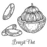 Διάνυσμα σπόρου καρυδιών της Βραζιλίας η ανασκόπηση απομόνωσε το λευκό Βουτύρου συστατικό τροφίμων καρυδιών της Βραζιλίας ελεύθερη απεικόνιση δικαιώματος
