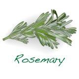 Διάνυσμα της Rosemary που απομονώνεται Στοκ φωτογραφία με δικαίωμα ελεύθερης χρήσης
