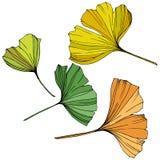 διάνυσμα Φύλλο Ginkgo Βοτανικός κήπος εγκαταστάσεων Απομονωμένο στοιχείο απεικόνισης ginkgo στο άσπρο υπόβαθρο ελεύθερη απεικόνιση δικαιώματος