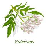 Διάνυσμα χορταριών Valeriana Στοκ εικόνα με δικαίωμα ελεύθερης χρήσης