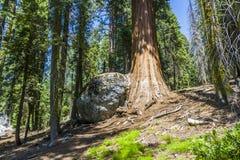 Διάσημα μεγάλα sequoia δέντρα Στοκ Εικόνα