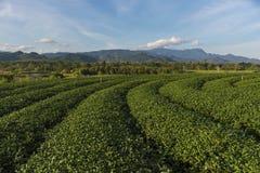 Διάσημη θέση έλξης ταξιδιού chui-Fong για το terraced κήπο τσαγιού Στοκ Φωτογραφία