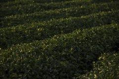 Διάσημη θέση έλξης ταξιδιού chui-Fong για το terraced κήπο τσαγιού Στοκ Εικόνα