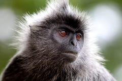 Διάσημοι ασημένιοι πίθηκοι φύλλων της Μαλαισίας στοκ εικόνες με δικαίωμα ελεύθερης χρήσης