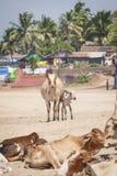 Διάσημος τόπος προορισμού τουριστών παραλιών Anjuna, Goa, Ινδία Στοκ Φωτογραφίες