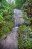 Διάσημο υποτροπικό αειθαλές καλυμμένο Neckera βρύο Colchis πυξαριού (colchica Buxus) στοκ εικόνες