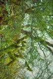 Διάσημο υποτροπικό αειθαλές καλυμμένο Neckera βρύο Colchis πυξαριού (colchica Buxus) στοκ φωτογραφία