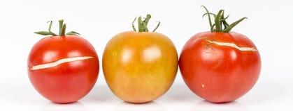 3 διάσπαση, ραγισμένες ντομάτες λόγω της βροχής μετά από την ξηρασία, πρόβλημα κηπουρικής στοκ φωτογραφίες