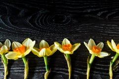 Διάστημα αντιγράφων για δημιουργικό σας Όμορφοι ανθίζοντας κίτρινοι νάρκισσοι Στοκ φωτογραφίες με δικαίωμα ελεύθερης χρήσης