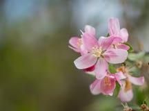 Διάστημα λουλουδιών και αντιγράφων Crabapple Στοκ εικόνες με δικαίωμα ελεύθερης χρήσης