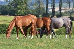 Διάστικτα άλογα γκρι και κάστανων Στοκ Εικόνα